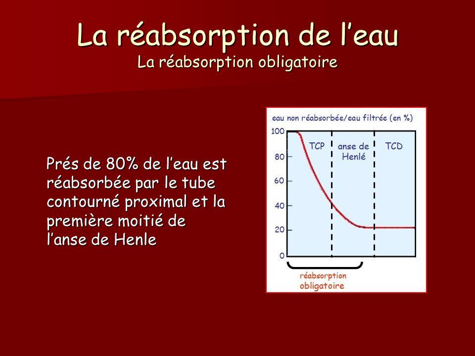 La réabsorption de leau La réabsorption obligatoire Prés de 80% de leau est réabsorbée par le tube contourné proximal et la première moitié de lanse d