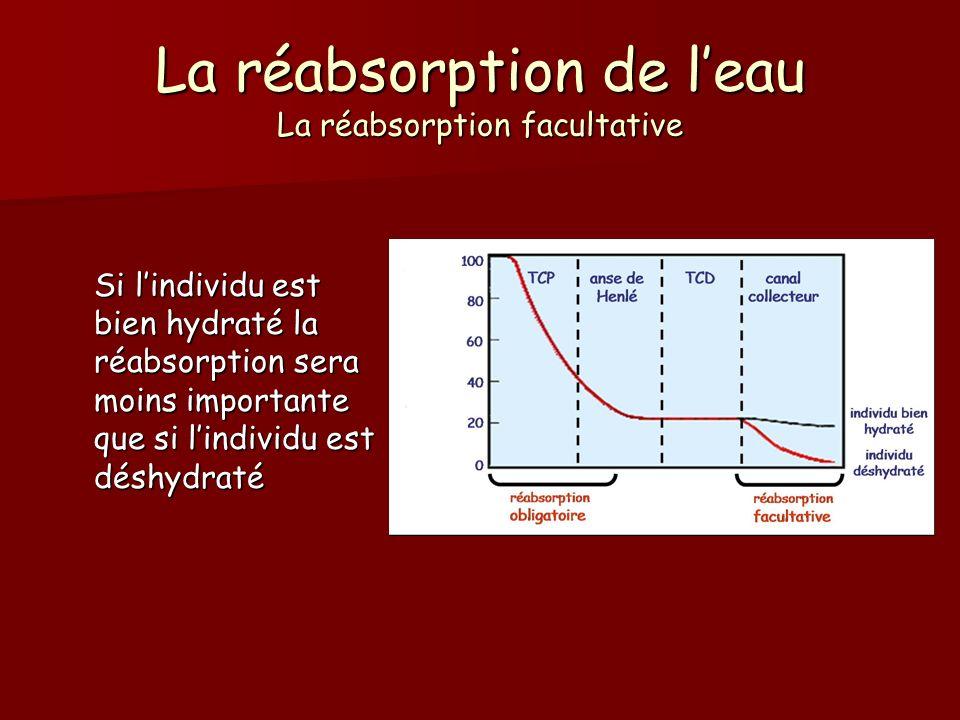 La réabsorption de leau La réabsorption facultative Si lindividu est bien hydraté la réabsorption sera moins importante que si lindividu est déshydrat