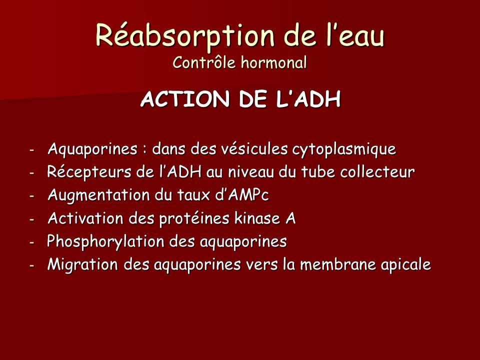 Réabsorption de leau Contrôle hormonal ACTION DE LADH - Aquaporines : dans des vésicules cytoplasmique - Récepteurs de lADH au niveau du tube collecte