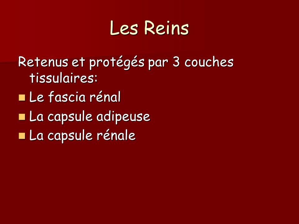 Les Reins Retenus et protégés par 3 couches tissulaires: Le fascia rénal Le fascia rénal La capsule adipeuse La capsule adipeuse La capsule rénale La
