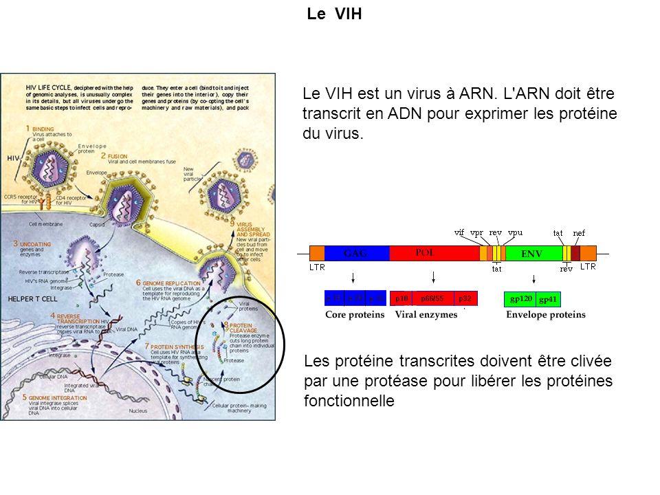 Le VIH Le VIH est un virus à ARN. L'ARN doit être transcrit en ADN pour exprimer les protéine du virus. Les protéine transcrites doivent être clivée p