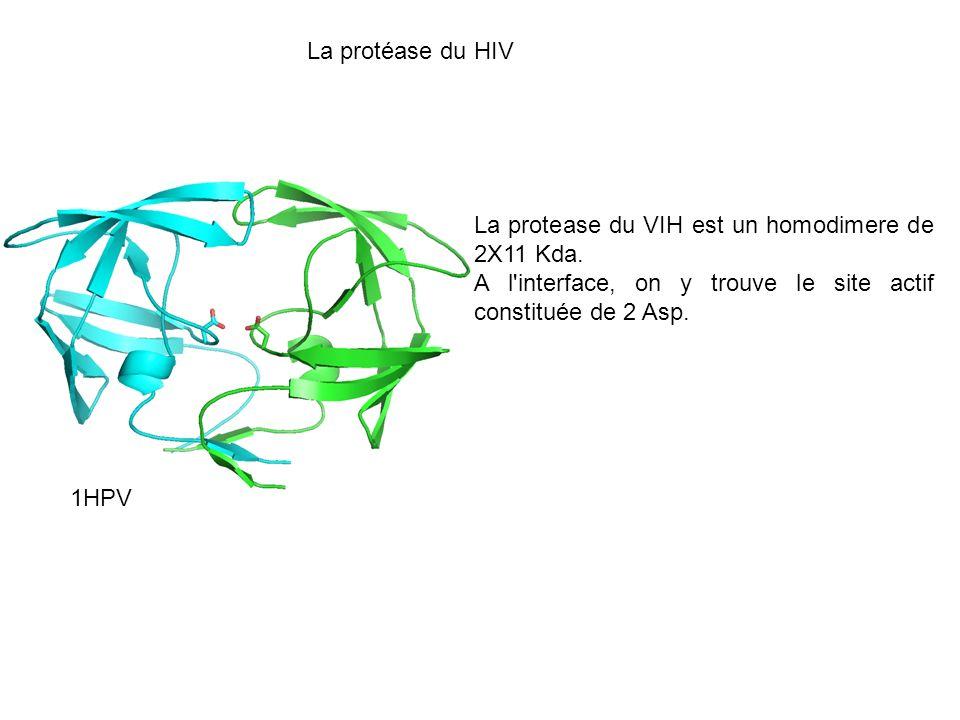La protéase du HIV 1HPV La protease du VIH est un homodimere de 2X11 Kda. A l'interface, on y trouve le site actif constituée de 2 Asp.