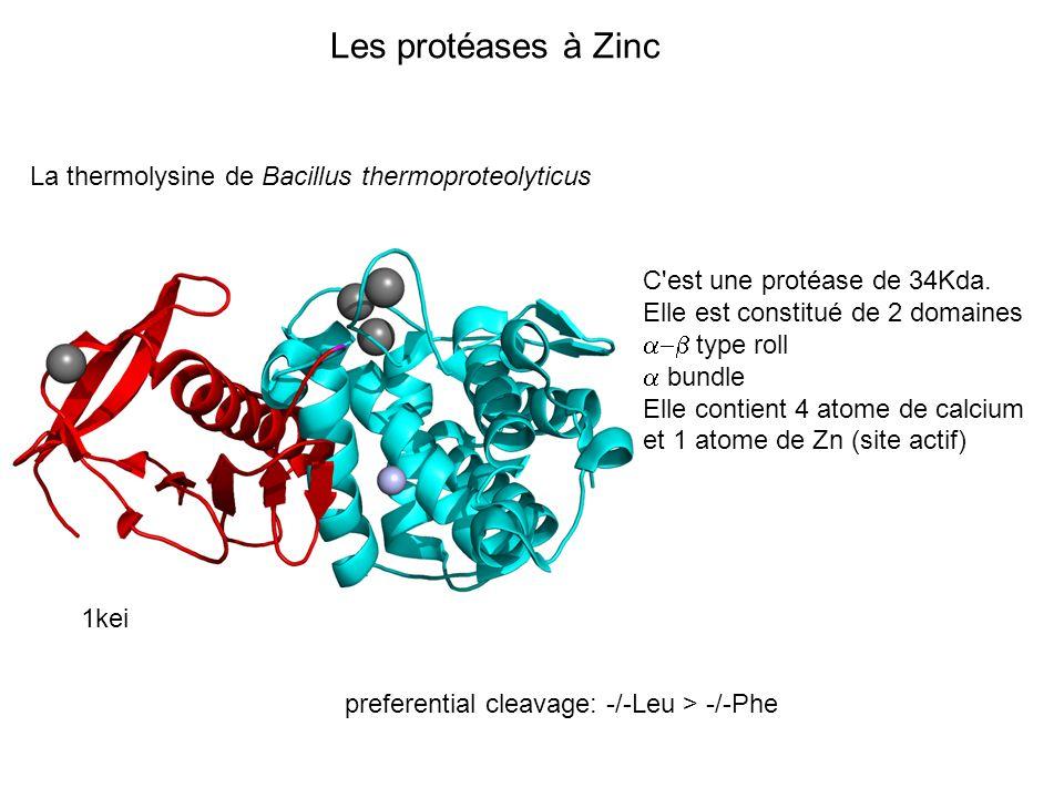 Les protéases à Zinc La thermolysine de Bacillus thermoproteolyticus 1kei C'est une protéase de 34Kda. Elle est constitué de 2 domaines type roll bund