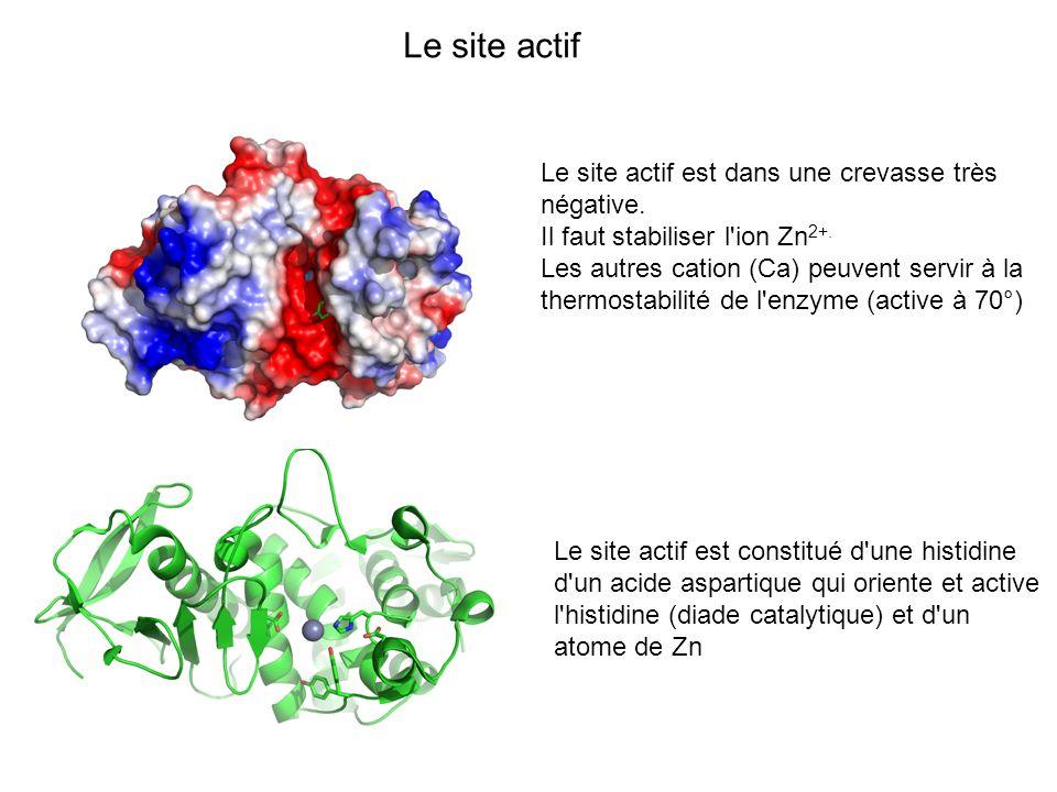 Le site actif Le site actif est dans une crevasse très négative. Il faut stabiliser l'ion Zn 2+. Les autres cation (Ca) peuvent servir à la thermostab