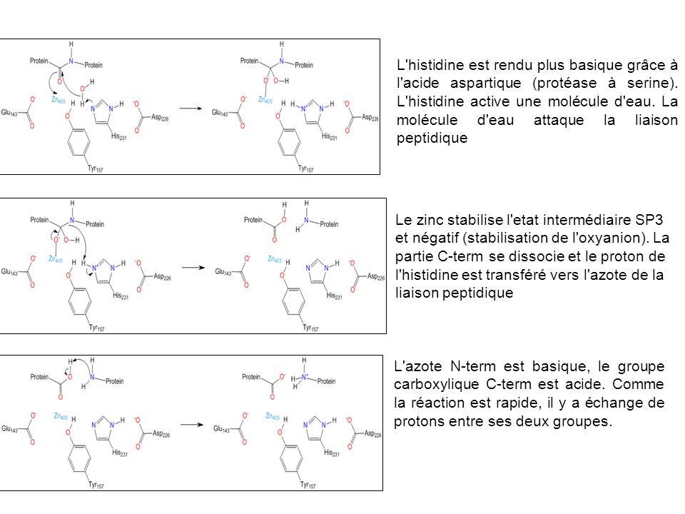 L'histidine est rendu plus basique grâce à l'acide aspartique (protéase à serine). L'histidine active une molécule d'eau. La molécule d'eau attaque la