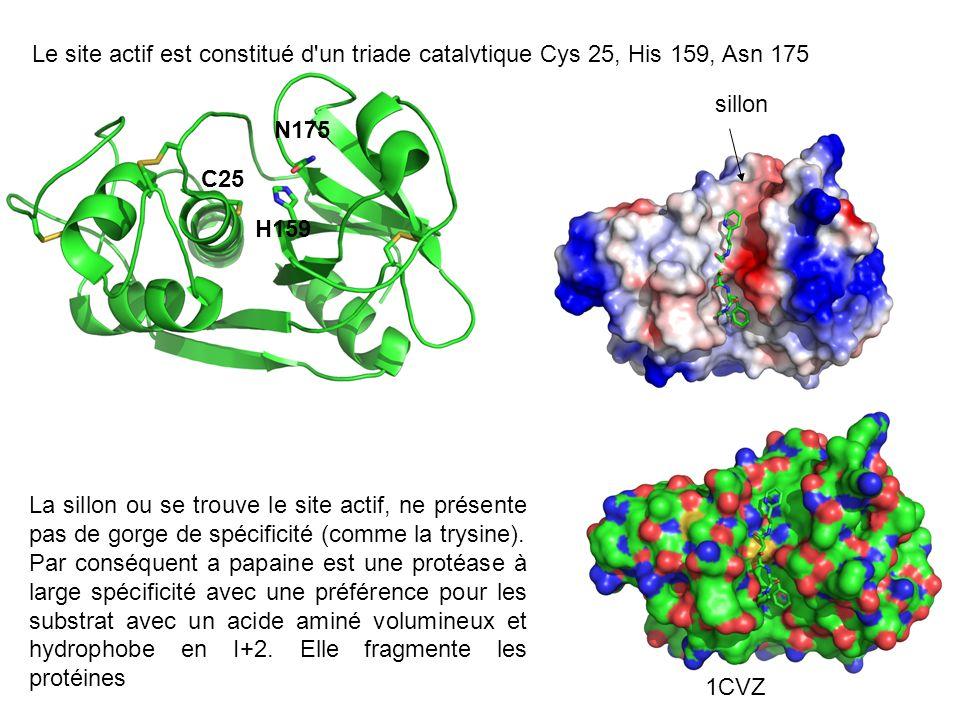 Le site actif est constitué d'un triade catalytique Cys 25, His 159, Asn 175 C25 H159 N175 sillon La sillon ou se trouve le site actif, ne présente pa