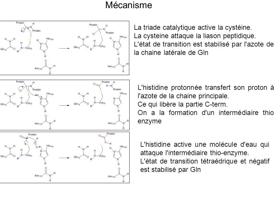 Mécanisme La triade catalytique active la cystéine. La cysteine attaque la liason peptidique. L'état de transition est stabilisé par l'azote de la cha