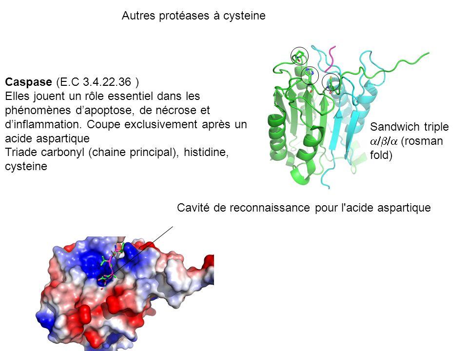 Autres protéases à cysteine Caspase (E.C 3.4.22.36 ) Elles jouent un rôle essentiel dans les phénomènes dapoptose, de nécrose et dinflammation. Coupe