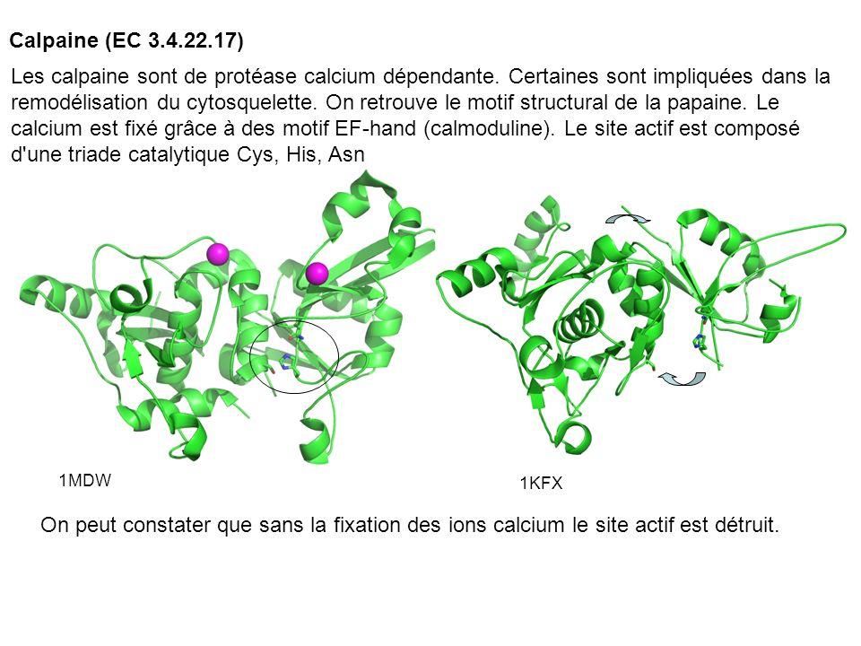 Calpaine (EC 3.4.22.17) 1MDW 1KFX Les calpaine sont de protéase calcium dépendante. Certaines sont impliquées dans la remodélisation du cytosquelette.