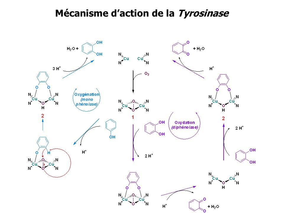 Mécanisme daction de la Tyrosinase