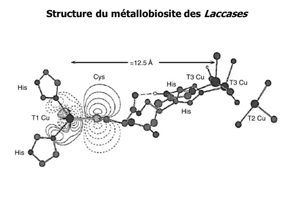 Structure du métallobiosite des Laccases