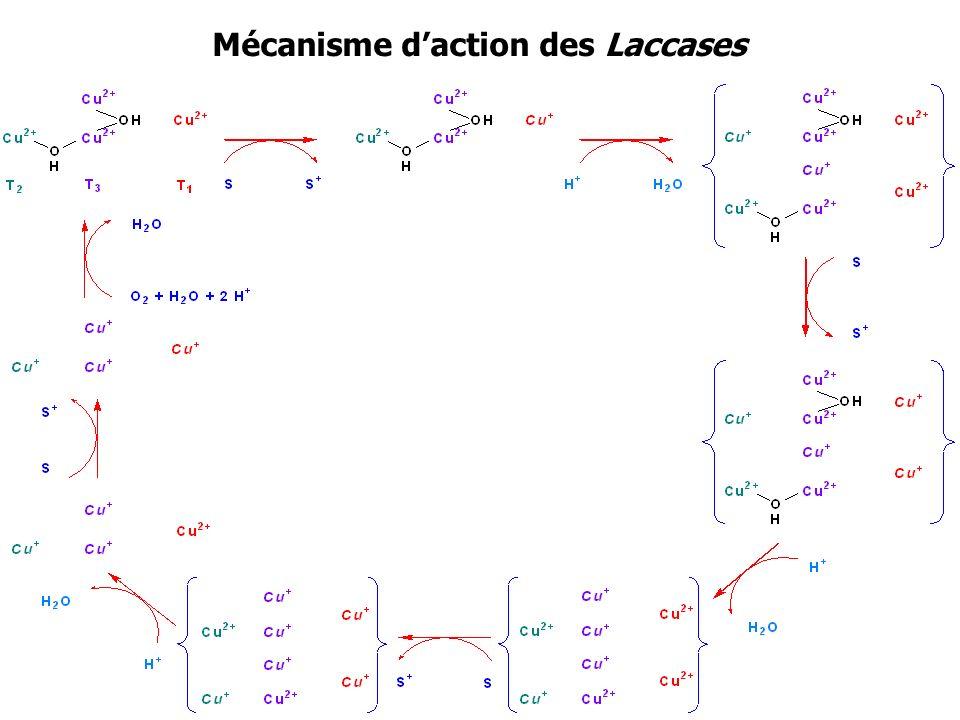 Mécanisme daction des Laccases