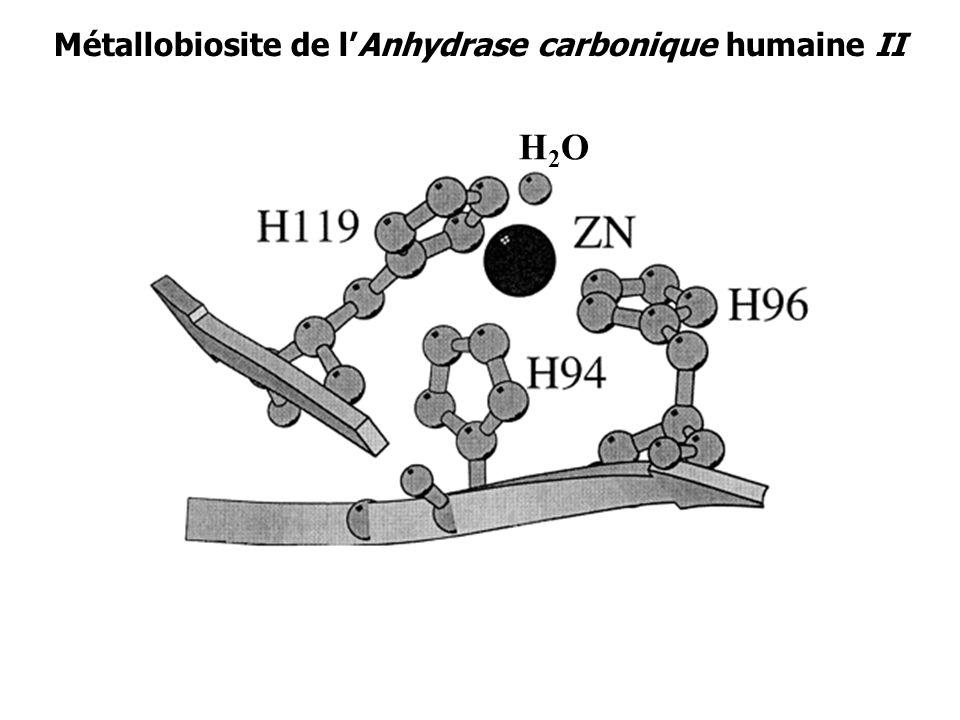 Métallobiosite de lAnhydrase carbonique humaine II H2OH2O