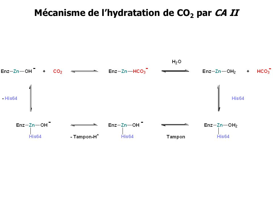 Mécanisme de lhydratation de CO 2 par CA II