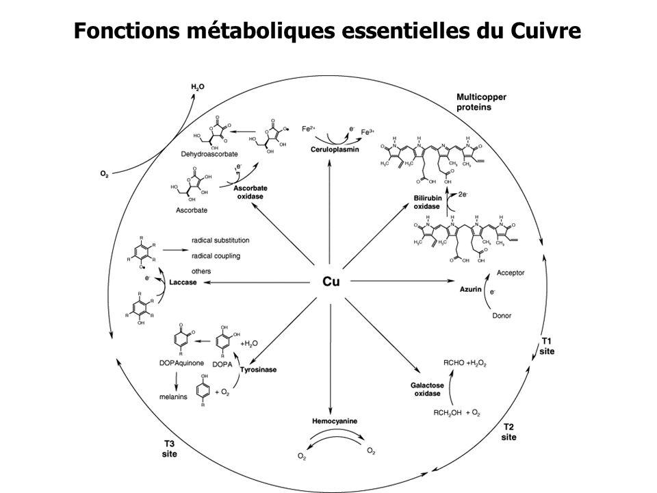 Fonctions métaboliques essentielles du Cuivre