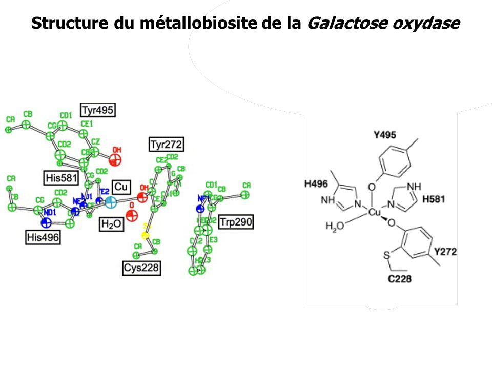 Structure du métallobiosite de la Galactose oxydase