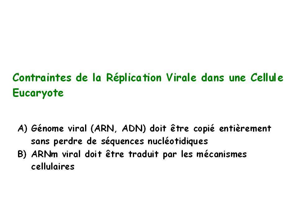 Contraintes de la Réplication de Virus à ADN