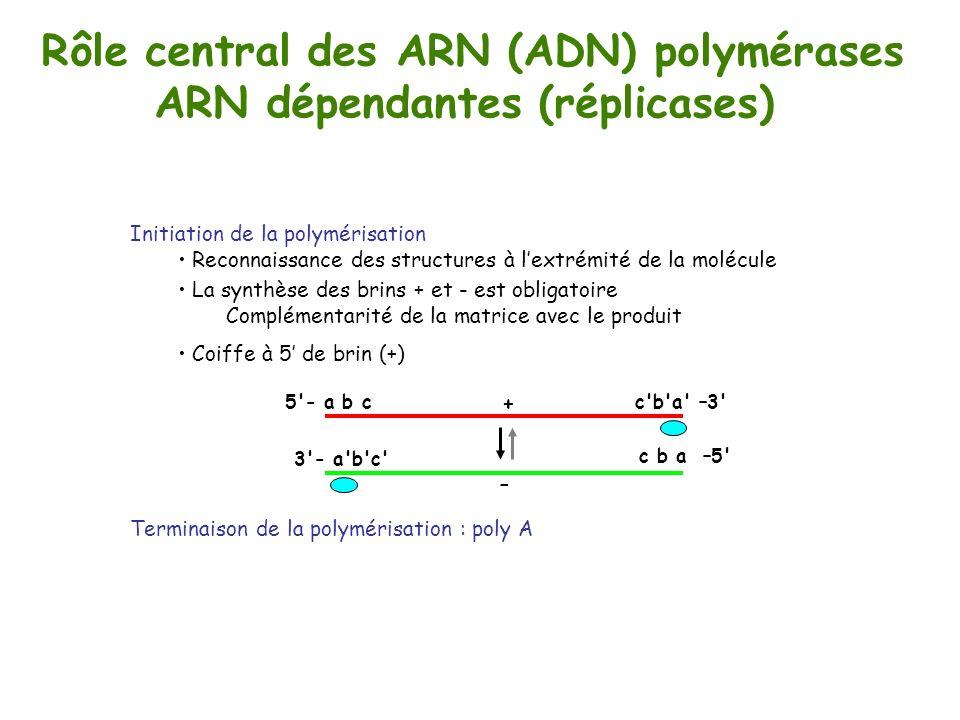 Rôle central des ARN (ADN) polymérases ARN dépendantes (réplicases) + c'b'a' –3'5'- a b c c b a –5' 3'- a'b'c' - Initiation de la polymérisation Recon