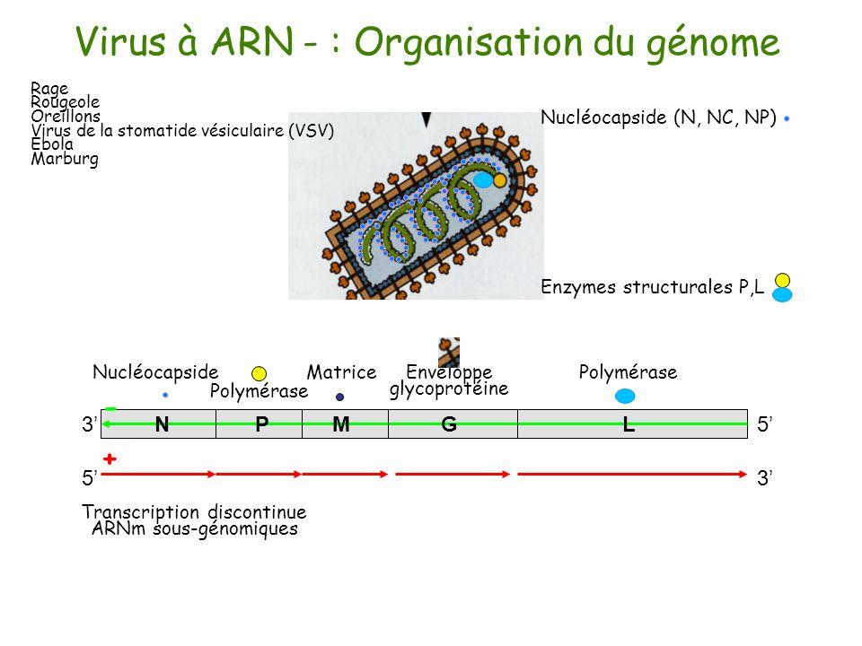 traduction modification post-traductionelle morphogenèse réplication: ARN- traduction ARN- 2°) transcription discontinue Virus à ARN - : stratégie de la réplication 3°) traduction Membrane cellulaire 1°) dissociation de N de ARN ARNm 4°) réplication : ARN+ Modification de la fonction de la réplicase 5°) traduction (massive) morphogenèse -