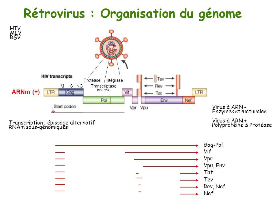 1°) rétrotranscription 6°) modification post- traductionnelle 7°) morphogenèse 3°) transcription ARNm multiépissés Maturation de la polyprotéine 4°) épissage alternatif Membrane cellulaire Membrane nucléaire 2°) intégration ADN (-) ARNm monoépissés ARNm non-épissés Transcriptase inverse Intégrase ARN polymérase II Protéase 5°) changement du cadre de lecture Env Gag-PolGag Tat Rev Nef Rétrovirus : stratégie de la réplication