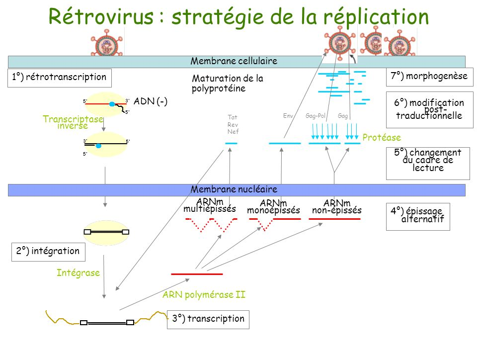 1°) rétrotranscription 6°) modification post- traductionnelle 7°) morphogenèse 3°) transcription ARNm multiépissés Maturation de la polyprotéine 4°) é