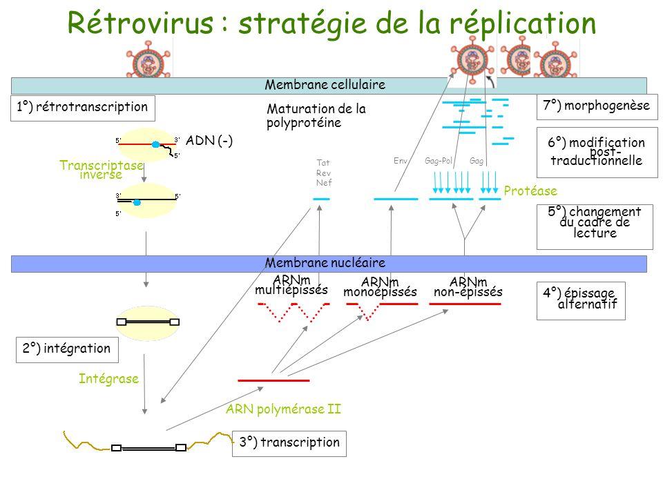 Rétrovirus : stratégie de réplication Caractéristiques spécifiques enzymes structurales Transcriptase inverse Intégrase Protéase intégration dans le génome de lhôte épissage alternatif (3 cadres de lecture) polyprotéine changement du cadre de lecture