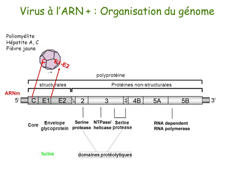 Virus à lARN + : Organisation du génome C E1-E2 Core Envelope glycoprotein Serine protease Protéines non-structuralesstructurales polyprotéine ARNm Po