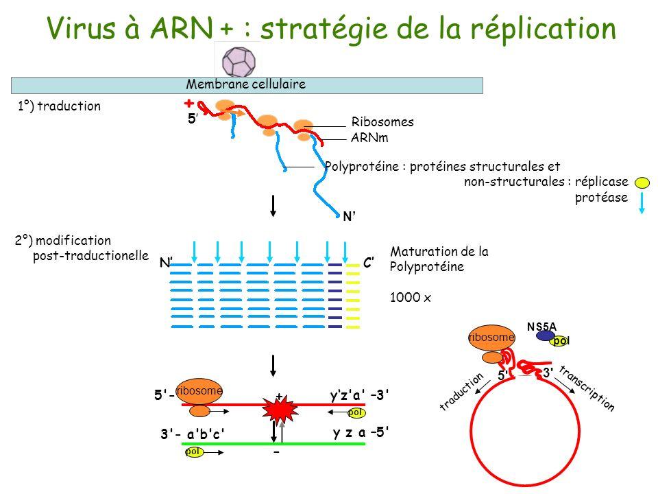Virus à ARN + : stratégie de la réplication 1°) traduction Membrane cellulaire Ribosomes Polyprotéine : protéines structurales et non-structurales : r