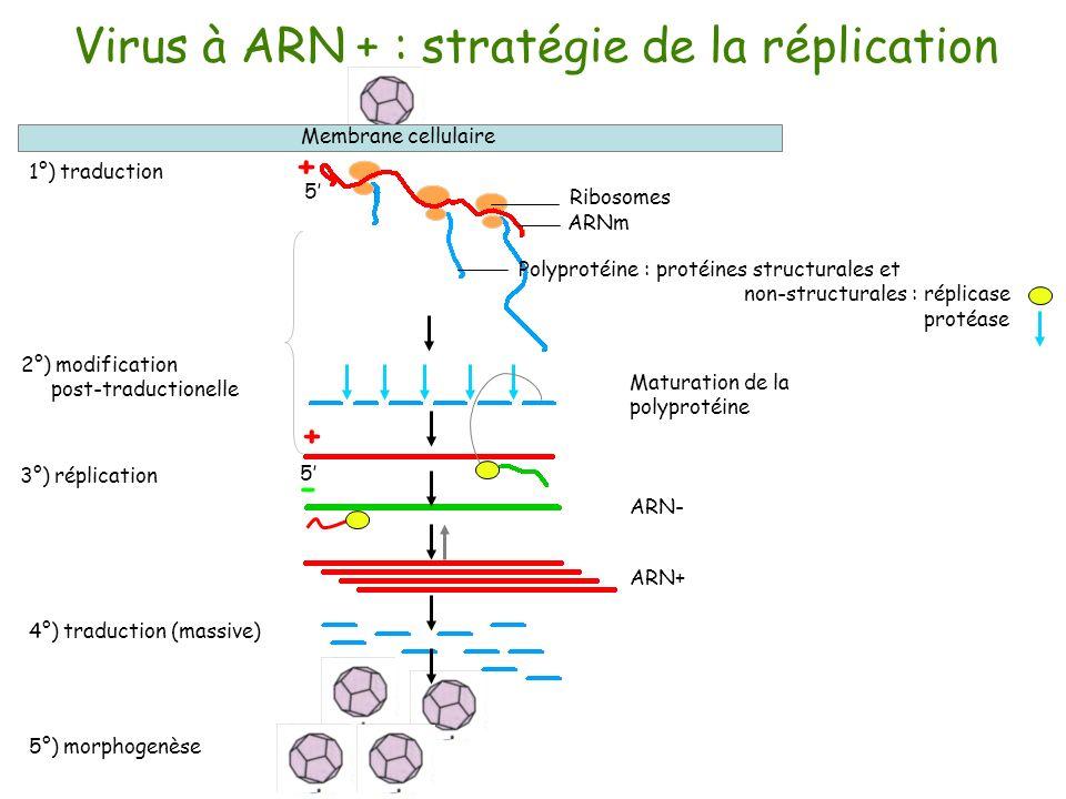 Virus à ARN + : stratégie de la réplication 1°) traduction 2°) modification post-traductionelle 5°) morphogenèse 3°) réplication Membrane cellulaire A