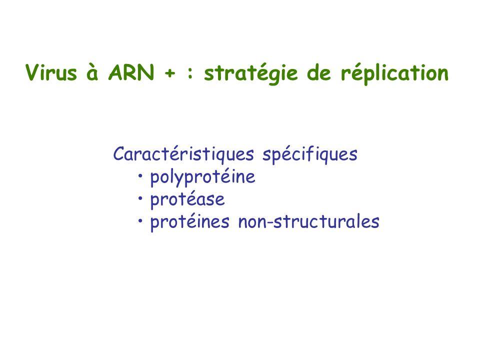 Virus à ARN + : stratégie de réplication Caractéristiques spécifiques polyprotéine protéase protéines non-structurales