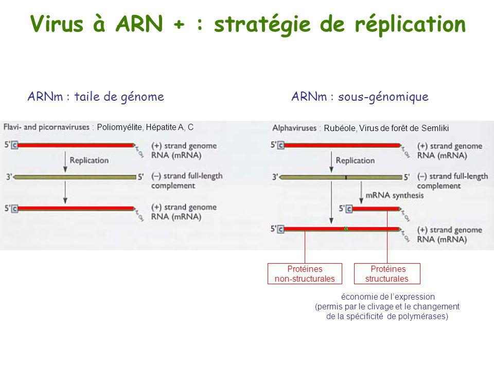 Virus à ARN + : stratégie de réplication ARNm : taile de génome ARNm : sous-génomique : Rubéole, Virus de forêt de Semliki : Poliomyélite, Hépatite A,