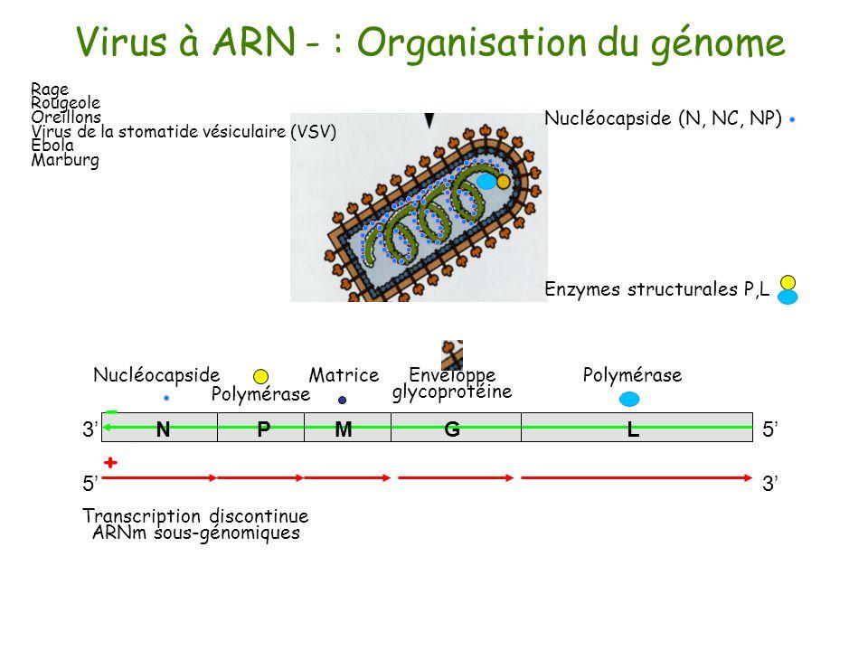 Virus à ARN - : Organisation du génome 35 Enveloppe glycoprotéine MatricePolymérase Nucléocapside 53 MNPGL Transcription discontinue ARNm sous-génomiq