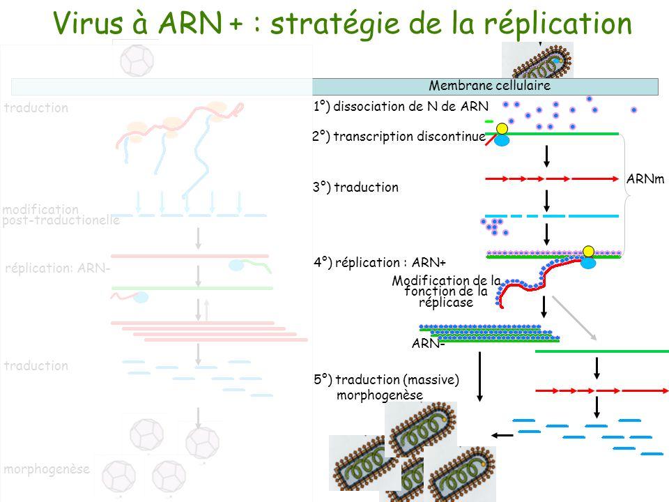 traduction modification post-traductionelle morphogenèse réplication: ARN- traduction ARN- 2°) transcription discontinue Virus à ARN + : stratégie de