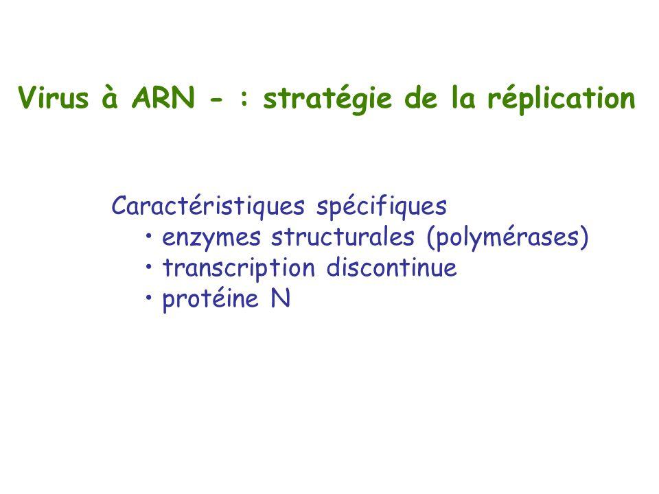 Virus à ARN - : stratégie de la réplication Caractéristiques spécifiques enzymes structurales (polymérases) transcription discontinue protéine N