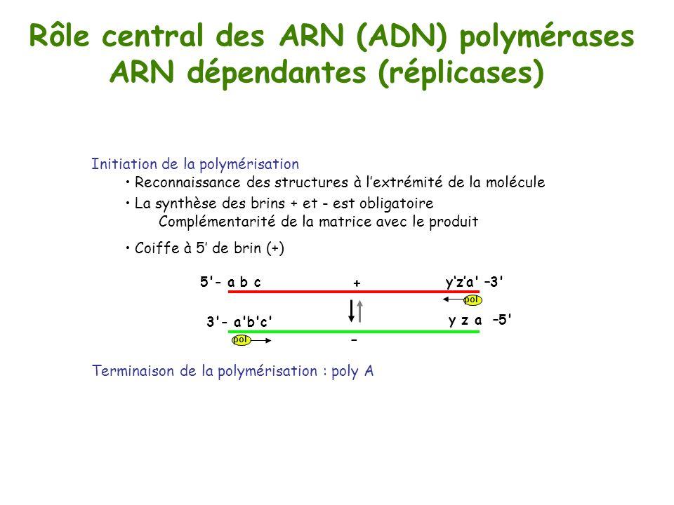 Rôle central des ARN (ADN) polymérases ARN dépendantes (réplicases) + yza' –3'5'- a b c y z a –5' 3'- a'b'c' - Initiation de la polymérisation Reconna