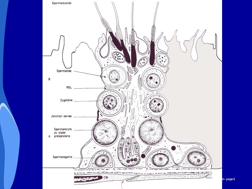 CHU _Hôpitaux de Rouen - page 6 Cellules de Leydig : Sécrétion d androgènes: testostérone Sous la dépendance de GnRH, LH et FSH (comme chez la femme) La sécrétion de GnRH chez l homme adulte est rythmique (pic toutes les 90 min.) La testostérone agit en retour (retro-contrôle négatif) sur la sécrétion des hormones hypophysaires: La testostérone agit sur les cellules de Sertoli par l intermédiaire de la protéine de liaison des androgènes.