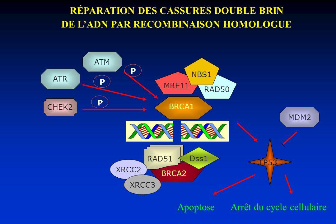 RÉPARATION DES CASSURES DOUBLE BRIN DE LADN PAR RECOMBINAISON HOMOLOGUE BRCA1 Apoptose TP53 Arrêt du cycle cellulaire BRCA2 RAD51 Dss1 RAD50 MRE11 NBS