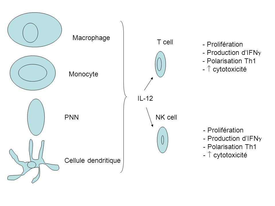 PNN Macrophage Monocyte Cellule dendritique IL-12 - Prolifération - Production dIFN - Polarisation Th1 - cytotoxicité - Prolifération - Production dIF