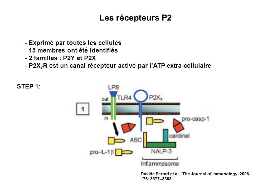 Les récepteurs P2 - Exprimé par toutes les cellules - 15 membres ont été identifiés - 2 familles : P2Y et P2X - P2X 7 R est un canal récepteur activé