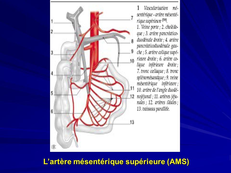 Lartère mésentérique supérieure (AMS)