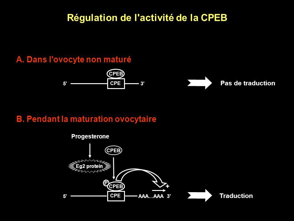 Régulation de la polyadénylation dépendante du CPE Identification de la CPEB (CPE Binding protein) Modèle :- Le CPE lie la CPEB - La CPEB provoque la polyadénylation des ARNm auxquels elle est liée Pourtant : - La CPEB est présente dès le début de l ovogenèse...