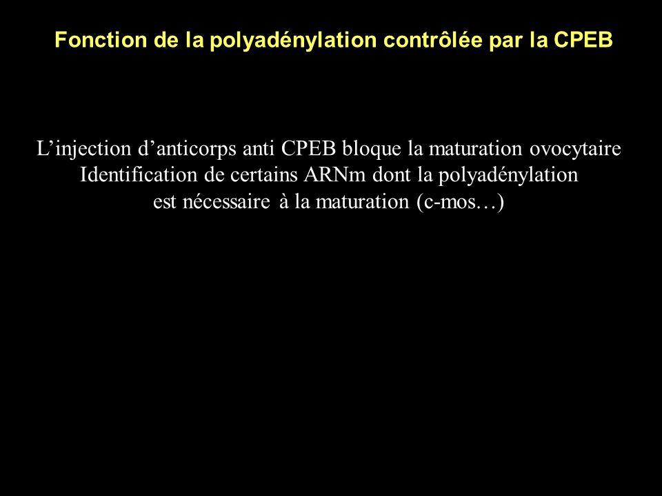 Régulation de l activité de la CPEB B.