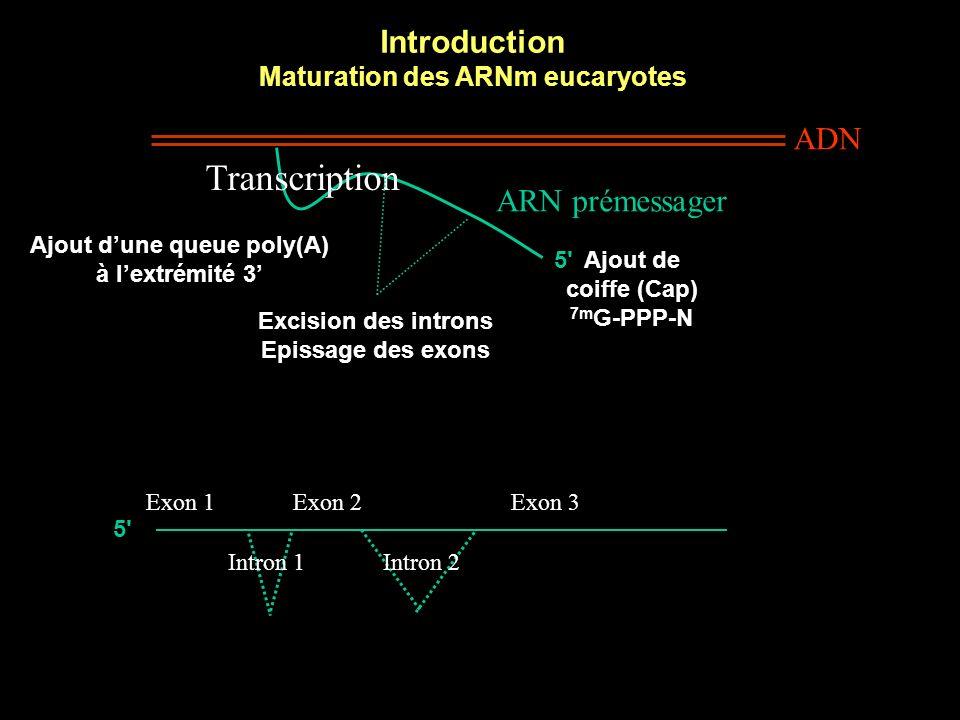 Introduction Maturation des ARNm eucaryotes ADN ARN prémessager Transcription 5 Ajout de coiffe (Cap) 7m G-PPP-N Excision des introns Epissage des exons Exon 1Exon 2Exon 3 Intron 2Intron 1 Ajout dune queue poly(A) à lextrémité 3 5