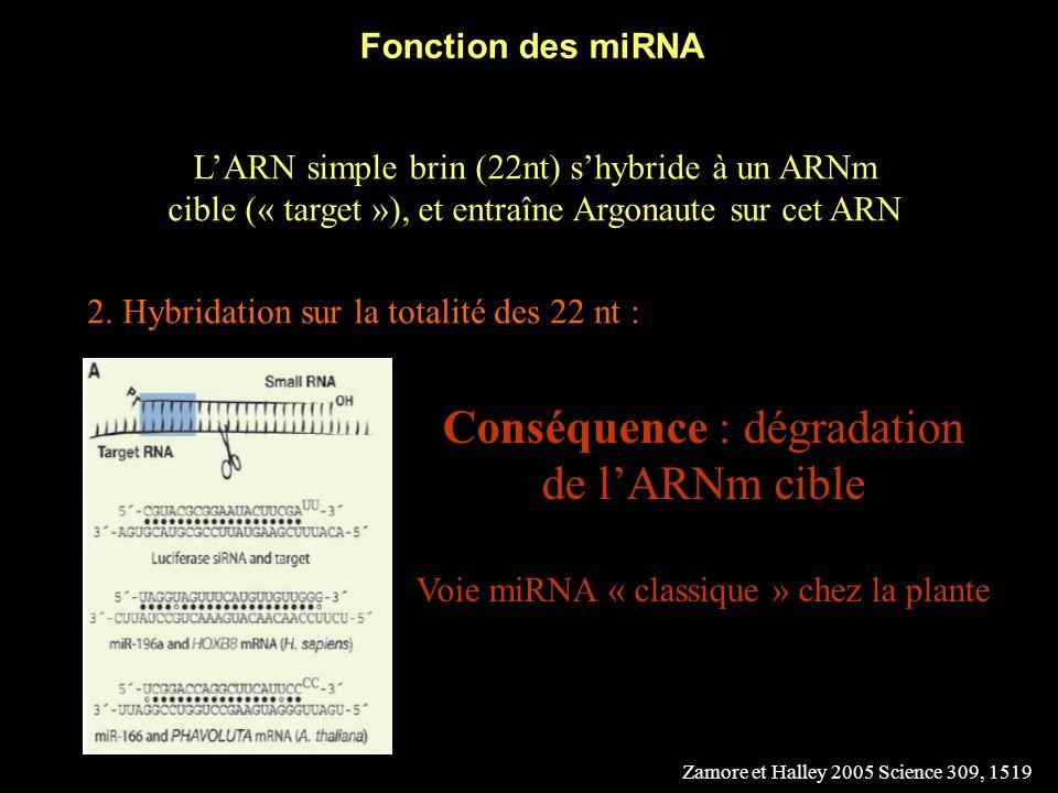 Fonction des miRNA LARN simple brin (22nt) shybride à un ARNm cible (« target »), et entraîne Argonaute sur cet ARN 1.