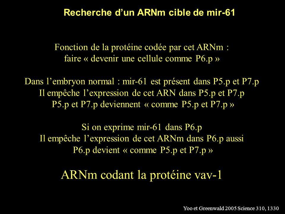… Sauf si on fait sexprimer le miRNA mir-61 dans P6.p Yoo et Greenwald 2005 Science 310, 1330 Contrôle Expression de mir-61 dans P6.p mir-61 exprimé dans P6.p « fait devenir » P6.p comme P5.p et P7.p
