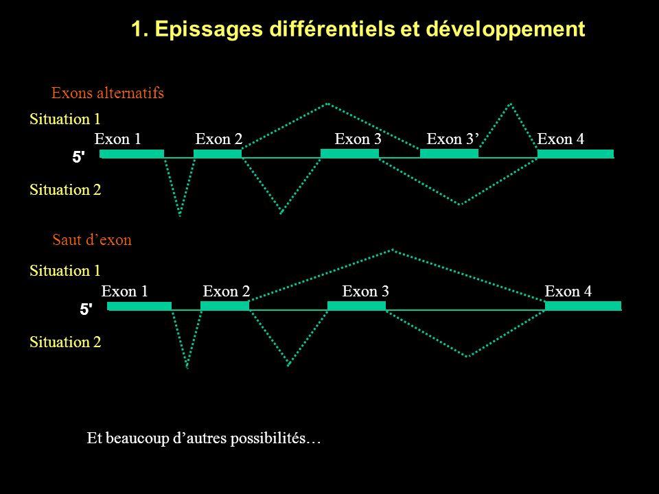 1. Epissages différentiels et développement Exon 1Exon 2Exon 3 5' Exon 3Exon 4 Exons alternatifs Situation 1 Situation 2