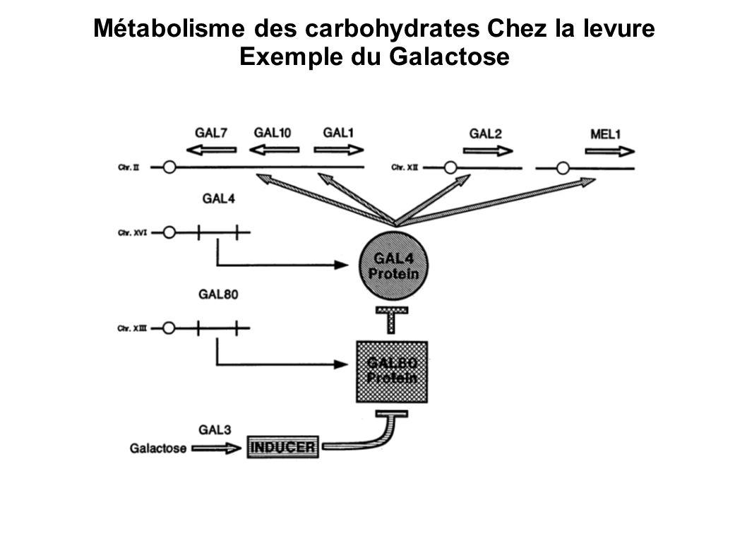Métabolisme des carbohydrates Chez la levure Exemple du Galactose