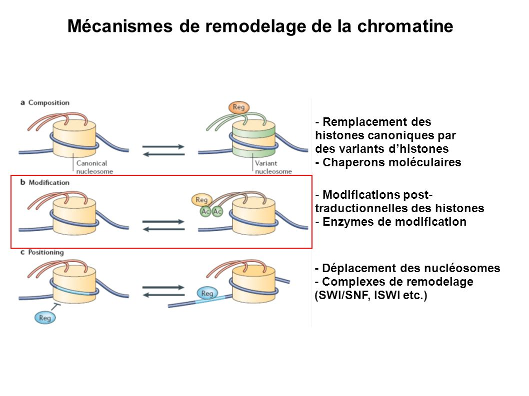 - Déplacement des nucléosomes - Complexes de remodelage (SWI/SNF, ISWI etc.) - Remplacement des histones canoniques par des variants dhistones - Chape
