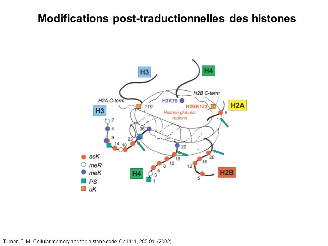 Modifications post-traductionnelles des histones Turner, B. M. Cellular memory and the histone code. Cell 111, 285-91. (2002).