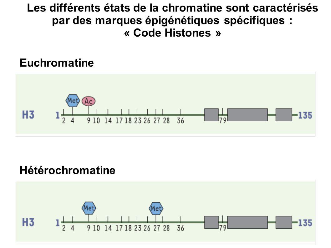 Euchromatine Hétérochromatine Les différents états de la chromatine sont caractérisés par des marques épigénétiques spécifiques : « Code Histones »